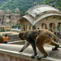 templo monos india