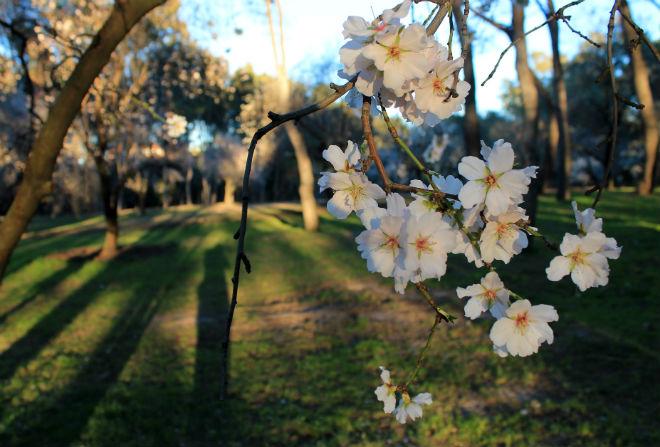 almendros-flor-madrid3